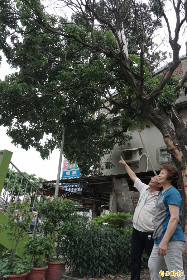 老荔枝樹今年重新發芽、長新花苞,重現生機,讓里長游金隆和鄰居非常開心。(記者蔡淑媛攝)