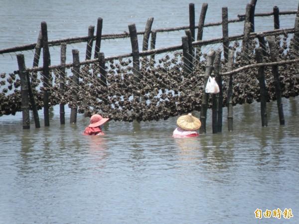 大熱天在海上作業,養蚵漁民形容是遇上兩個太陽,天上1個,水裡1個。(記者陳燦坤攝)