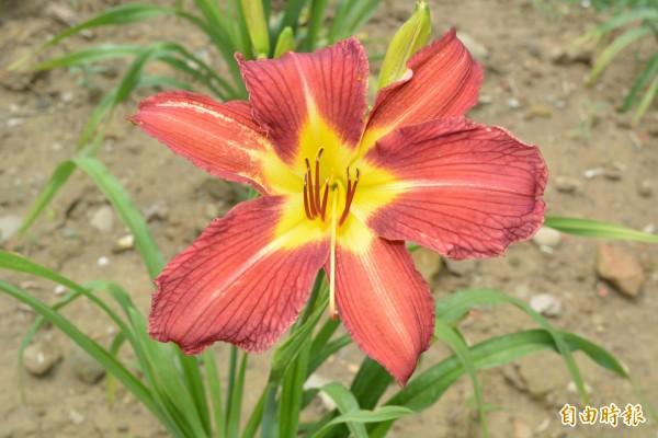 艷紅色金針花「萱草花蓮2號」陸續開花,鮮紅又大朵,酷似百合花,每株高達300元。(記者湯世名攝)