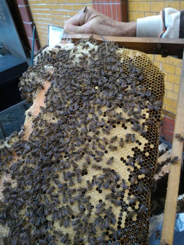 今年蜂蜜產量創新低。(防檢局提供)