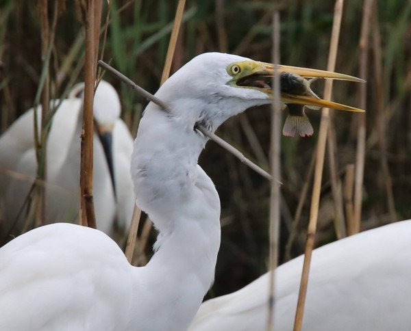 大白鷺嘴裡刁著魚,但脖子被乾枯蘆葦刺穿。(Chen Chia-Ching提供)