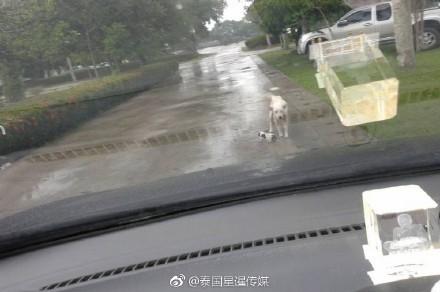 狗狗擋警車求救。(圖取自星暹傳媒微博)