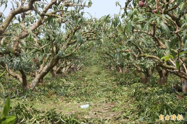 芒果遭天然災害重創,果農先把雜枝砍除,一片狼籍,但卻能保留主幹養分。(記者陳彥廷攝)