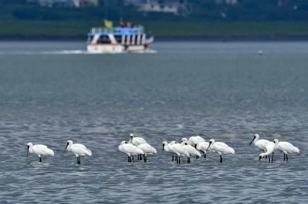 近日八里海岸及挖仔尾紅樹林保護區出現15隻黑面琵鷺,聚集在灘地覓食。(汪忠皇先生提供)