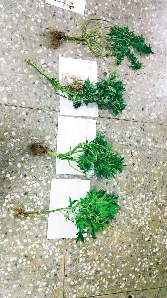 警方查扣大麻樹。(記者曾健銘翻攝)