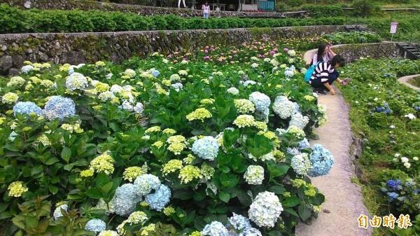 陽明山竹子湖繡球花花況正好。(記者黃建豪攝)