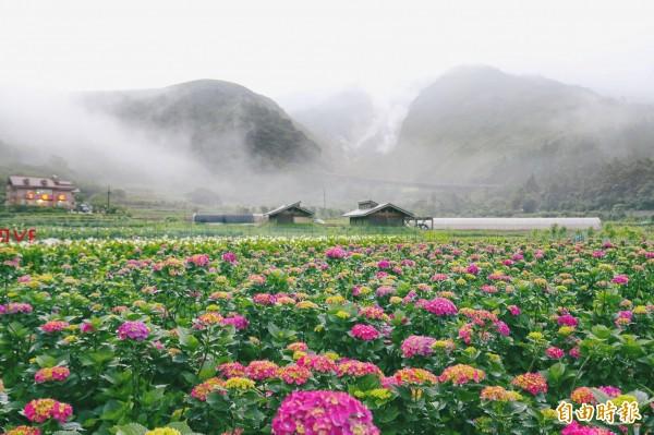 竹子湖繡球花海。(記者黃建豪攝)