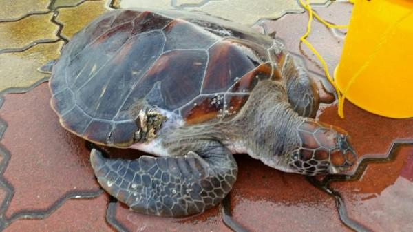 今早台南第11岸巡總隊救援的綠蠵龜。(記者楊金城翻攝)