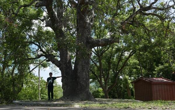 龍崎牛埔的百年芒果樹,樹形壯碩,須3至4人才能合抱。地方指該樹已有300年的歷史,堪稱「台南之寶」。(晁瑞光提供)