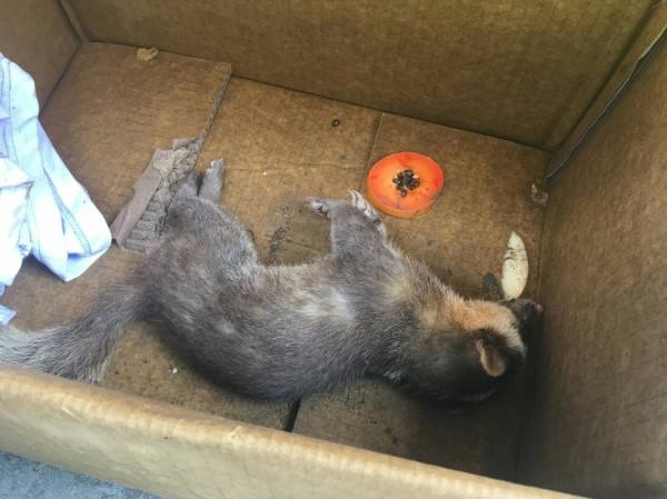 鎮民為趕走躺在機車踏墊上的鼬獾,卻不甚被咬。鼬獾不久死亡,檢驗後竟發現狂犬病陽性。圖為當事發病鼬獾。(防檢局提供)