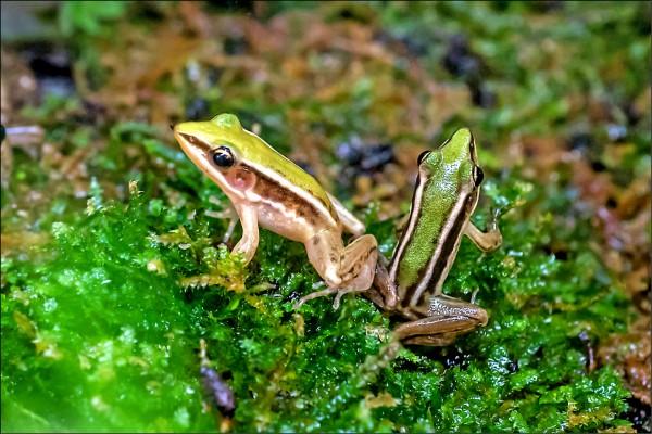 因棲地破壞,野外已很難看到背部帶有黃綠色、像是穿上特殊吊帶的台北赤蛙蹤跡。 (台北市立動物園提供)