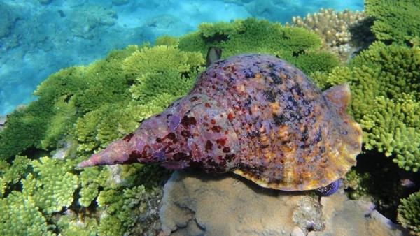 大法螺一度因人為濫捕瀕危,導致棘冠海星大爆發。(記者劉禹慶翻攝)