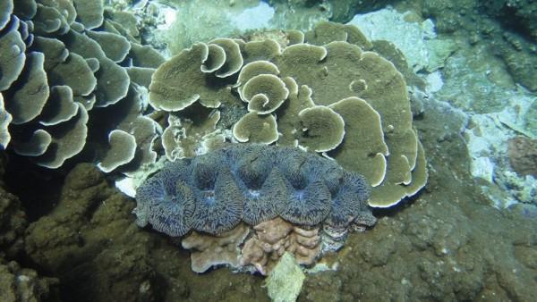 花紋美麗的硨磲貝,也因人為濫捕列入禁捕物種。(記者劉禹慶翻攝)