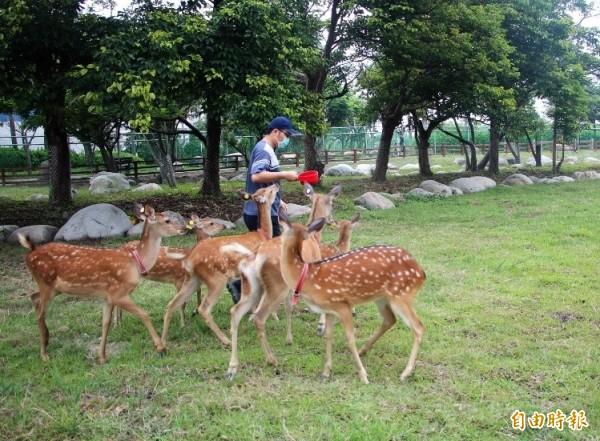 鹿港小鹿鹿搬到生態公園新家了!(記者劉曉欣攝)