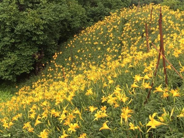 花壇鄉岩竹村數萬朵金針花鋪滿山頭,金黃色花海迎風搖曳,風情萬種。(記者湯世名攝)