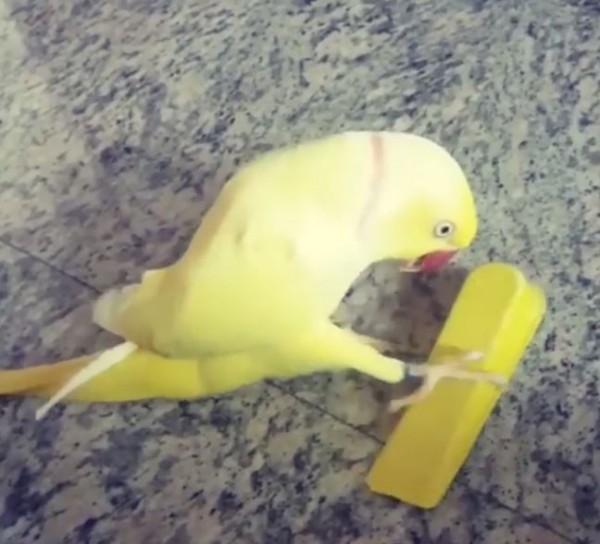 黃色小鸚鵡,把一塊黃色「門擋」(Doorstop)當成好友,不斷地向它問好又親嘴。(圖擷自「UNILAD」臉書)