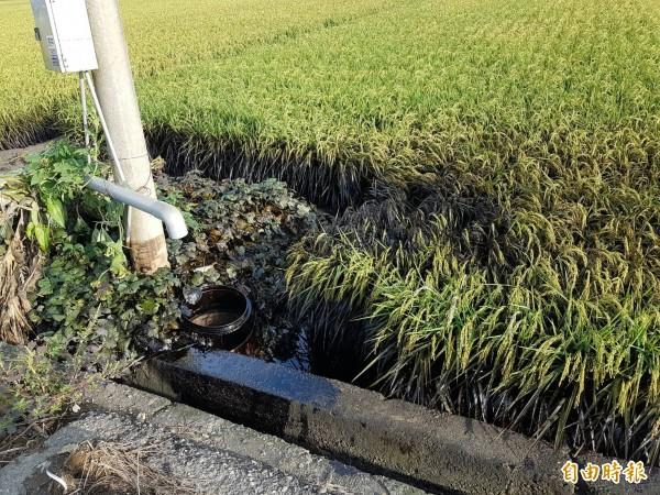 雲林監獄附近受重油污染的稻田。(記者廖淑玲攝)