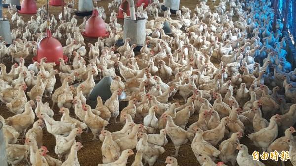 禽流感疫情趨緩,雞價反跌至每斤37元。(記者陳文嬋攝)