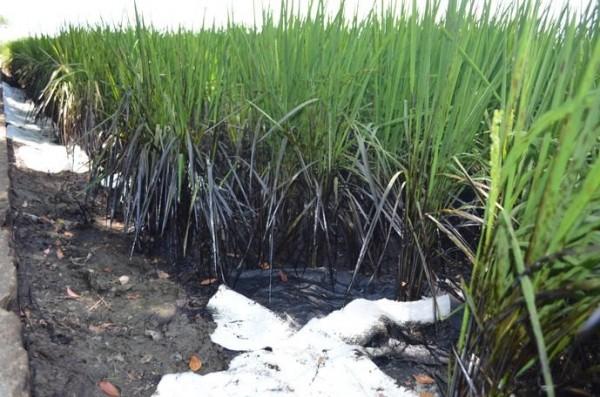 受重油汙染的稻田。(雲林縣政府提供)