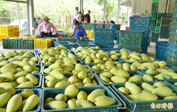山區芒果進入產季,南化農會收購金煌,到貨量不少。(記者吳俊鋒攝)