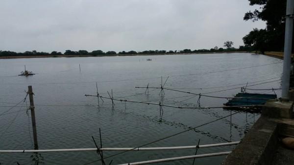 觀音8-22號池飼養吳郭魚染湖泊病毒,是全球第6個確診國家。(農業局提供)