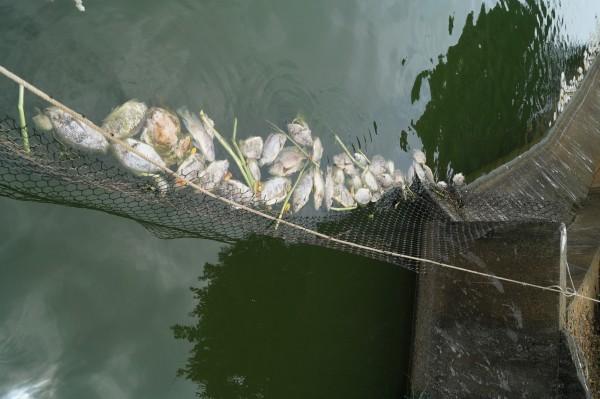 觀音8-22號池因飼養吳郭魚染病,發生集體死亡情形。(圖由農業局提供)