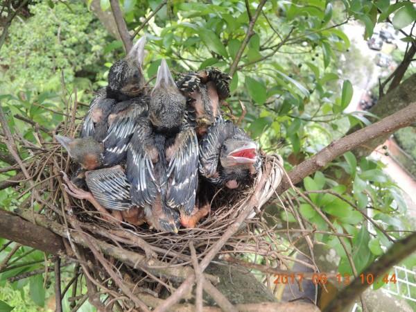 動保處已用吊車將遭獵捕台灣藍鵲幼鳥送回巢。(圖由台北市動物保護處提供)