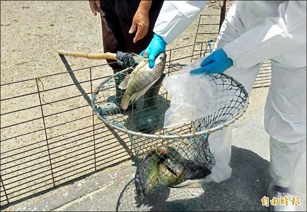 台南是吳郭魚最大的養殖產地,昨天台南市動保處採檢麻豆水禽場養殖的吳郭魚,未驗出湖泊病毒。(記者楊金城攝)