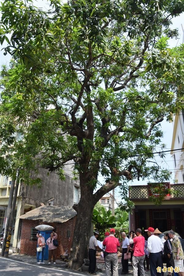 梓官大舍甲百年老芒果樹,是當地居民的共同回憶。(記者蘇福男攝)