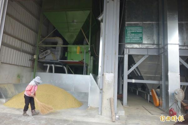 稻穀採收烘乾不及,碾米業盼納責任制。圖為鹿港鎮農會穀物乾燥中心。(資料照,記者劉曉欣攝)