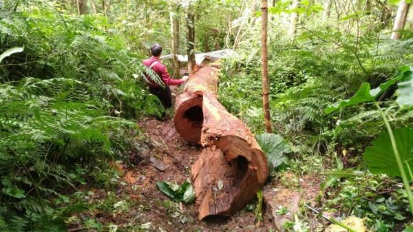 新竹縣尖石鄉山區有株樹齡超過120歲的牛樟木被山老鼠砍倒,倒下的樹身長達15公尺。(圖由警方提供)