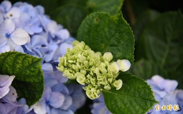 尚未綻放的小花苞長些時日,花緣就會漸漸沾上淡淡的藍紫色。(記者陳賢義攝)
