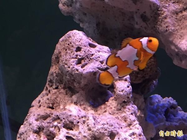台東海洋夢想館仍會展出多種小丑魚。(記者張存薇攝)