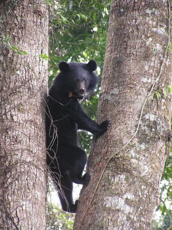 玉管處人員在瓦拉米園區捕捉到台灣黑熊爬樹嬉戲覓食的身影。(玉管處提供)