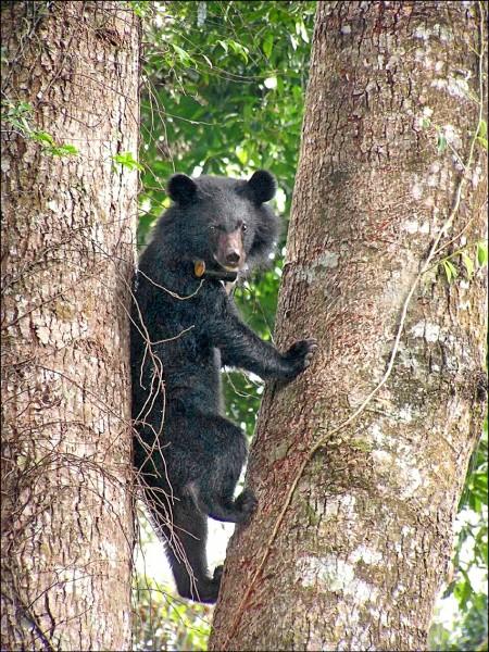 玉山國家公園管理處巡查人員,在瓦拉米園區捕捉到台灣黑熊爬樹嬉戲、覓食身影。(玉管處提供)