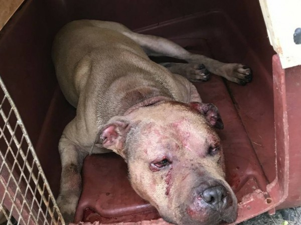 被飼主帶去鬥狗的比特犬傷痕累累,令人不忍。(記者陳昀翻攝)