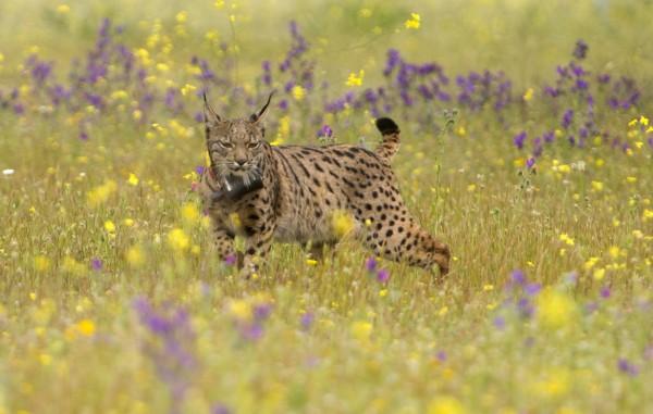 西班牙「多尼亞納國家公園」是瀕臨絕種的「伊比利亞猞猁」的棲息地。(法新社)