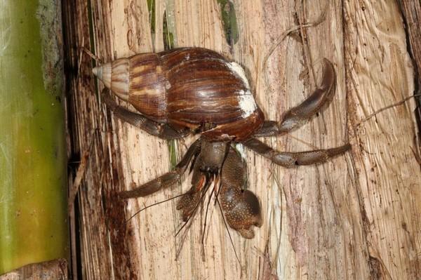 台江國家公園新紀錄種─凹足陸寄居蟹。(張原謀提供)