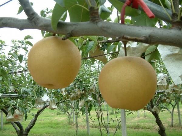網路謠言嚴重影響東勢梨子產業及農友生計。(農業局提供)
