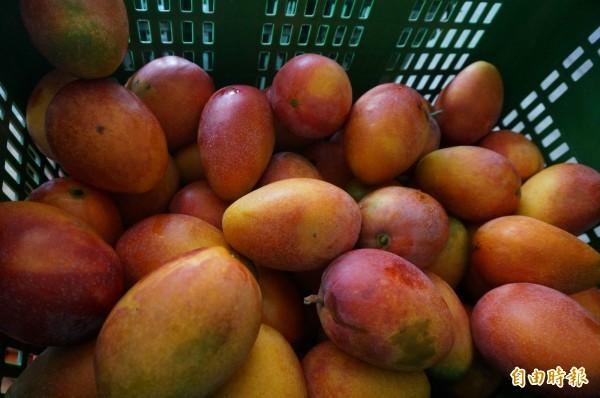 為了提高經濟效益,延長芒果的「嘗鮮期」,所以製成果乾,幫助農民有更高的收益,民眾還能「一整年都可以吃到芒果」(記者黃文瑜攝)