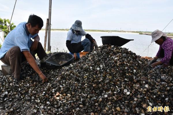 文蛤暴斃嚴重,業者不捨地在一堆開口死亡的文蛤中,尋找活的文蛤。(記者黃淑莉攝)