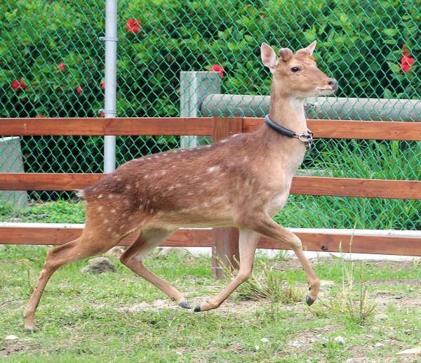 彰化鹿港生態公園小鹿家族的小公鹿,因為染結核病不幸去世了。(記者劉曉欣翻攝)