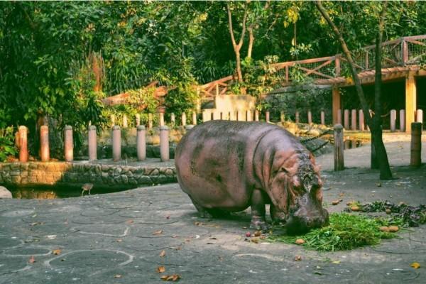 據信為世界上最長壽的河馬「柏莎」(Bertha),上週五(7日)死於菲律賓馬尼拉動物園,享年65歲。(圖擷自instagram)