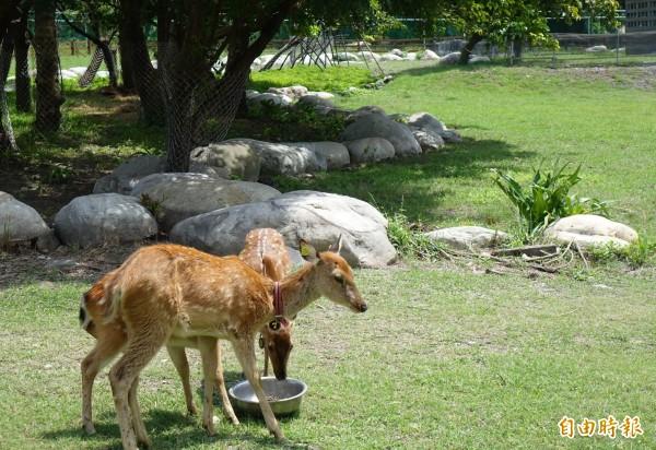 鹿港生態公園公鹿暴斃後,遊客僅能隔著圍籬觀賞母鹿。(記者湯世名攝)