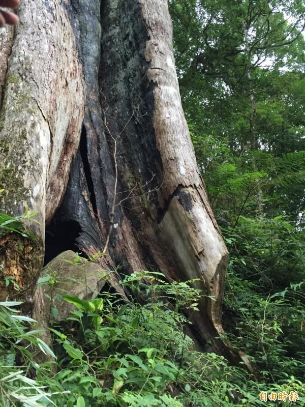 被盜砍去板根的北得拉曼巨木區內紅檜,傷痕(右下)不會隨著破案而痊癒。(記者黃美珠攝)