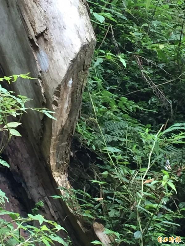 被盜砍去板根的北得拉曼巨木區內紅檜,傷痕不會隨著破案而痊癒。(記者黃美珠攝)