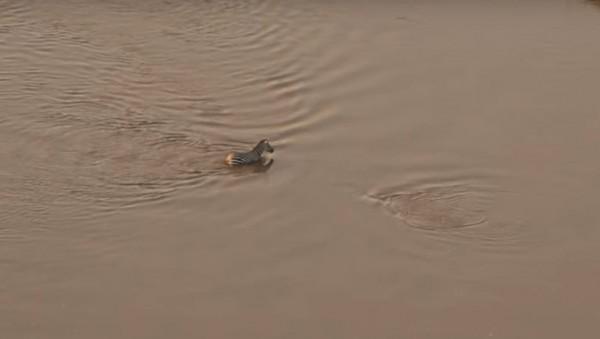 斑馬渡河時,旁邊的漣漪是鱷魚在水面下虎視眈眈。(圖擷自YouTube)