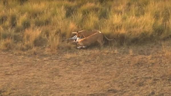 斑馬到岸上卻被母獅獵殺。(圖擷自YouTube)