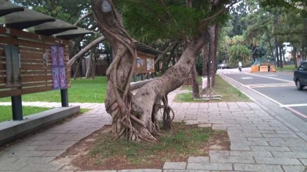 有網友日前在臉書「靠北清大」貼文,附上狀似「老漢推車」啪啪啪姿勢的榕樹照片,也讓這棵樹爆紅,被命名為「甘林老木」,也被許多學生列為打卡拍照的必去景點。(記者王駿杰翻攝)