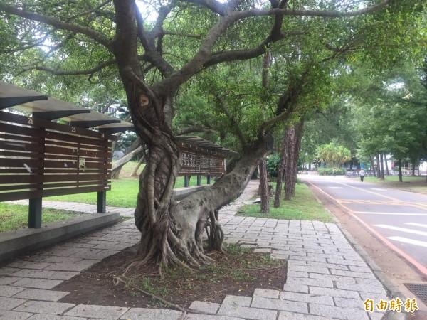 清大這棵榕樹樹幹狀似「老漢推車」姿勢,照片PO網後爆紅。(記者王駿杰攝)